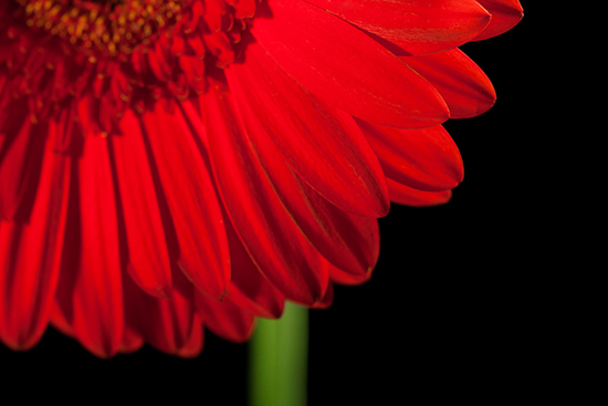 stockvault-gerbera-flower136661